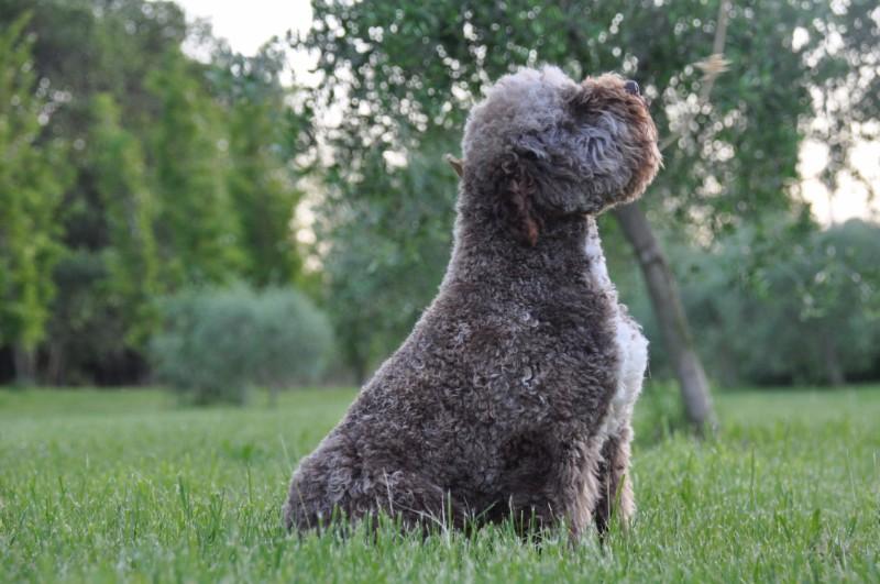 italienischer wasserhund kaufen